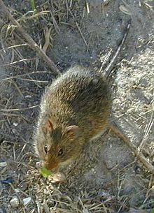 A reddish-brown rat on soil with some debris