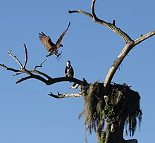 Photograph of an Osprey landing next to its nest in a tree