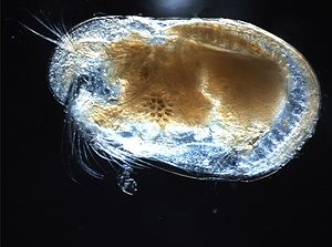Ostracod - Image: Ostracod