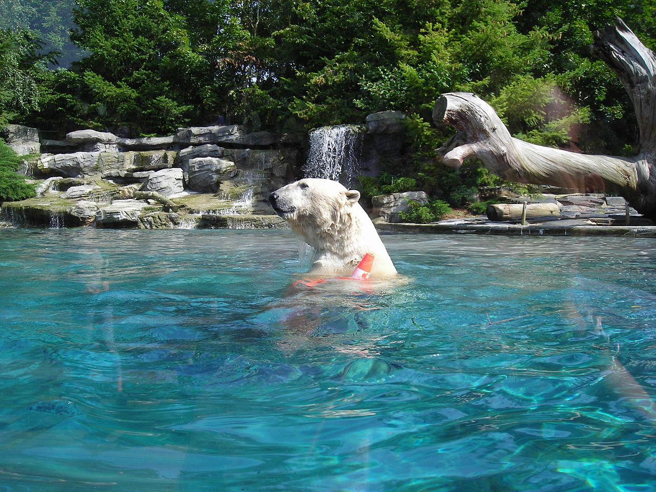 File ours blanc au zoo de la fl che jpg wikimedia commons for Chambre zoo de la fleche