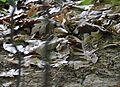 Ovenbird (17324345701).jpg