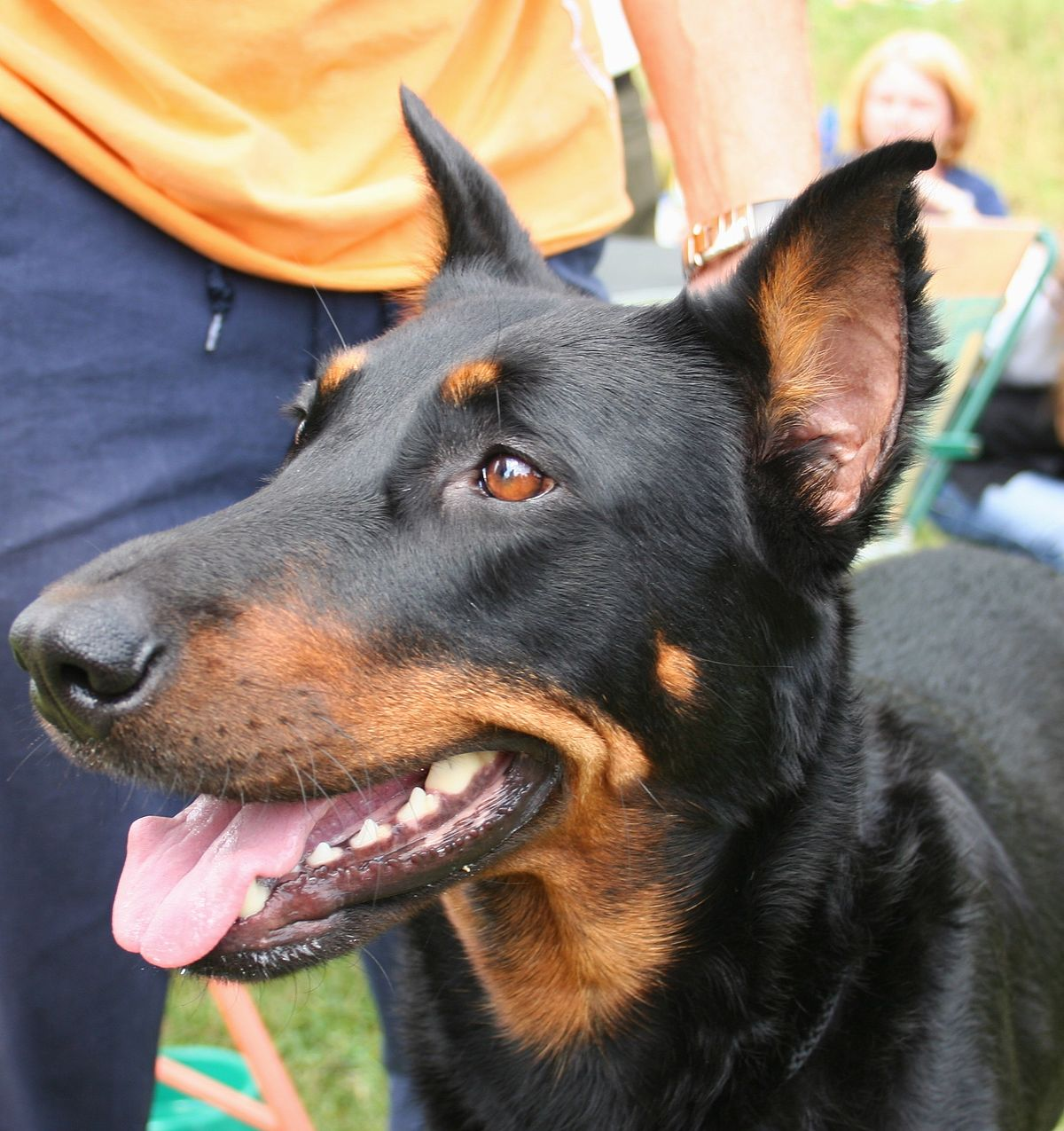Ch 243 Beauceron Wikipedia Tiếng Việt