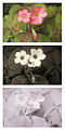 Oxalis tetraphylla (Four-leaved Pink Sorrel) Vis UV IR comparison.jpg