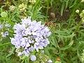 P1000377 Gilia capitata (Queen Anne's Thimble) () Flower.JPG