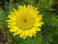 P1000592 Anthemis tinctoria (Yellow Chamomile) (Compositae) Flower.JPG