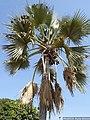 P1080368- Borassus akeassii (fruits et nids de Tisserin).jpg