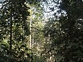 P14 Lawachara National Park, In Moulovibajar, Bangladesh.jpg
