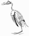 PSM V62 D515 Smithsonian great auk skeleton.png