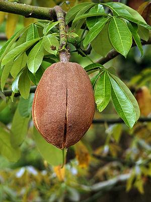 Pachira aquatica - Pachira aquatica in fruit.