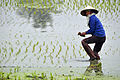 Paddy field in Vietnam with farmer, 2009.jpg