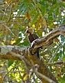 Pale-crested Woodpecker (Celeus lugubris) female (31406339240).jpg