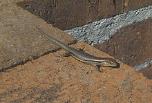 Pale Flecked Garden Sunskink.jpg
