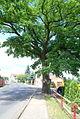 Památný strom dub letní v obci Bříza (okres Litoměřice).JPG