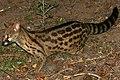 Panther Genet (Genetta maculata) (30556229264) 2.jpg