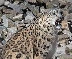 Panthera uncia - Zoo Karlsruhe 02.jpg