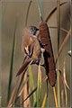 Panurus biarmicus -Oare Marshes, Kent, England -female-8 (3).jpg