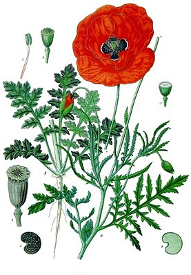 Klatschmohn (Papaver rhoeas), Illustration aus Koehler's Medicinal-Plants 1887