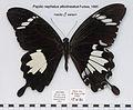 PapilioNephelusAlbolineatusMUpUnAC1.jpg