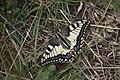 Papilio machaon, Salève - img 26218.jpg