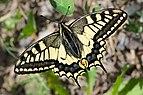 Papilio machaon Mitterbach 02.jpg