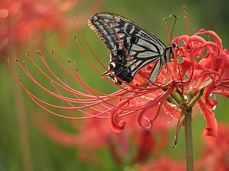Lycoris radiata - A Papilio xuthus butterfly on a flower