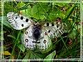 Papillon metalisée ... pour La.Si. - panoramio.jpg
