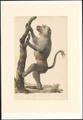 Papionini - - Print - Iconographia Zoologica - Special Collections University of Amsterdam - UBA01 IZAA100017.tif