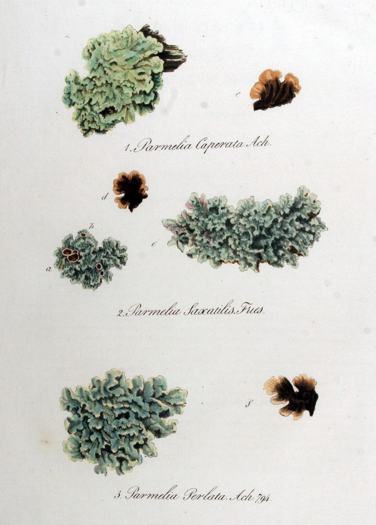 Parmotrema perlatum - ...V Is For Vegetables