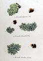 Parmelia caperata — Flora Batava — Volume v10.jpg