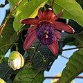 Passiflora ambigua (6833902599).jpg