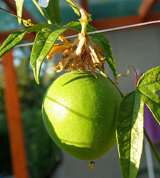 Passiflora incarnata - Fruit