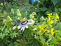Passion Flower UK2008.jpg