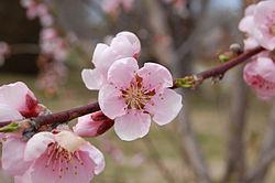 Peche Fruit Wikipedia