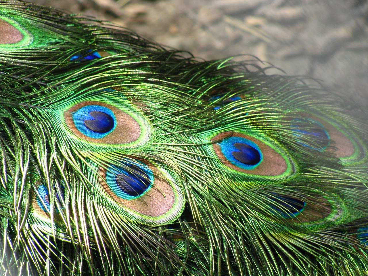 File:Peacock feathers closeup.jpg - Wikipedia