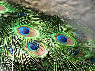 Structural coloration - The brilliant iridescent colours of the peacock's tail feathers are created by structural coloration, as first noted by Isaac Newton and Robert Hooke.