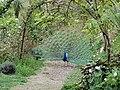Peacock in Little Paradise garden.jpg