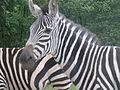 Peaugres zebre.jpg