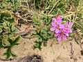 Pelargonium capitatum Bunbury 1.jpg