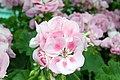 Pelargonium x hortorum Rocky Mountain Light Pink 1zz.jpg