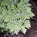 Pentagramma pallida (pale silverback fern) (33087603193).jpg