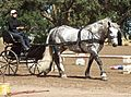 Percheron1.jpg