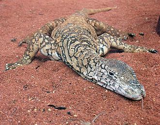 Australian megafauna - Perentie