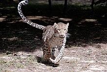 Persian leopard 1.jpg
