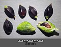 Persicaria hydropiper sl24.jpg