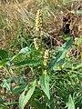 Persicaria lapathifolia.jpeg