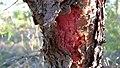 Persoonia linearis bark inside (8704397818).jpg