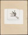Petaurus taguanoïdes - 1838 - Print - Iconographia Zoologica - Special Collections University of Amsterdam - UBA01 IZ20300061.tif