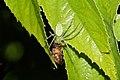 Peucetia viridana 7085.jpg