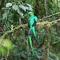 Pharomachrus mocinno Monteverde 02.jpg