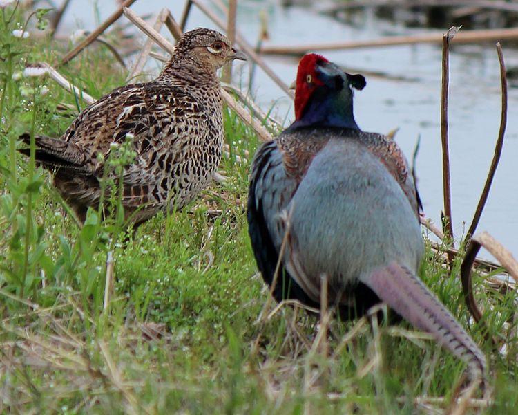 ファイル:Phasianus versicolor Couple.JPG
